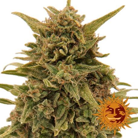 Семена конопли Blueberry OG