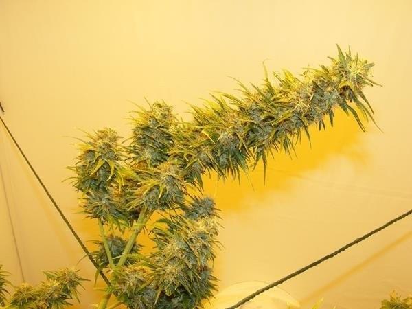 Сорт семян конопли G13 Haze