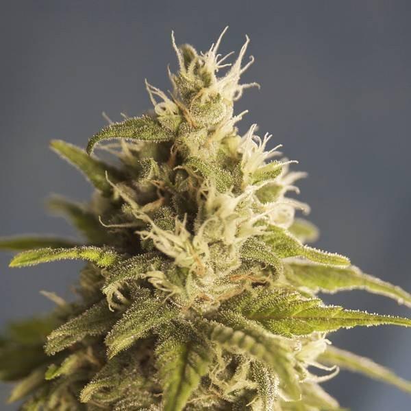Семена конопли GG1