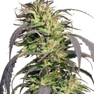Gold Rush Outdoor