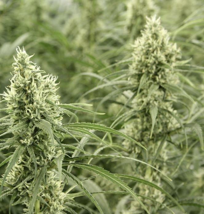 Сорт семян конопли Golden Haze