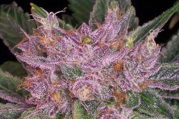 Сорт семян конопли Grape Krush