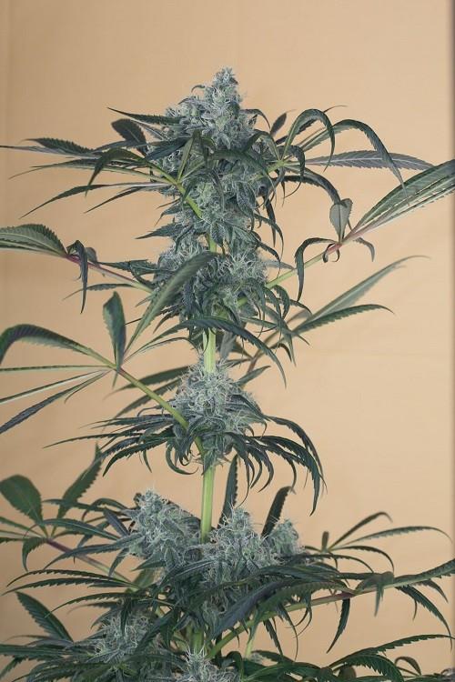Сорт семян конопли Green Crack CBD