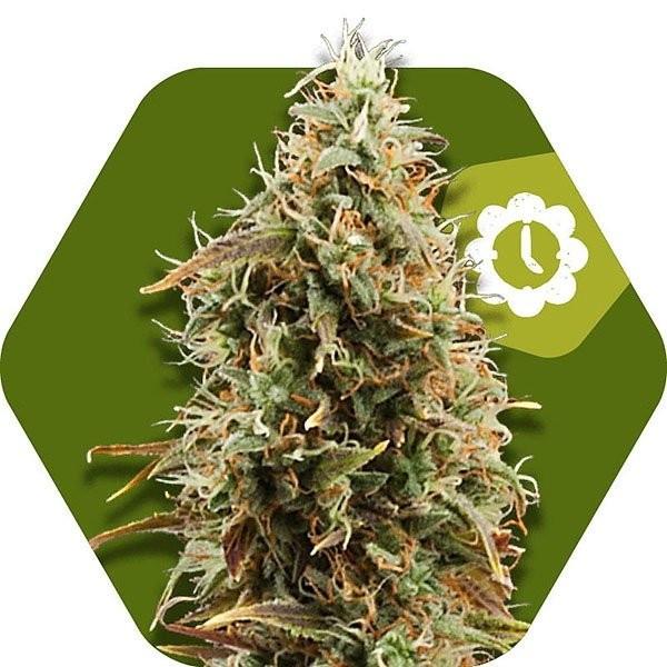 Семена конопли Auto Green AK XL