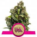 Candy Kush Express-Fast Flowering