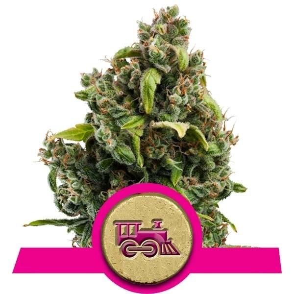 Семена конопли Candy Kush Express-Fast Flowering