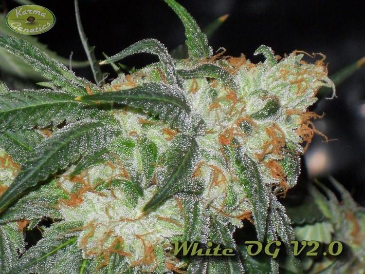 Семена конопли White OG