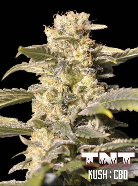 Семена конопли TNT Kush CBD