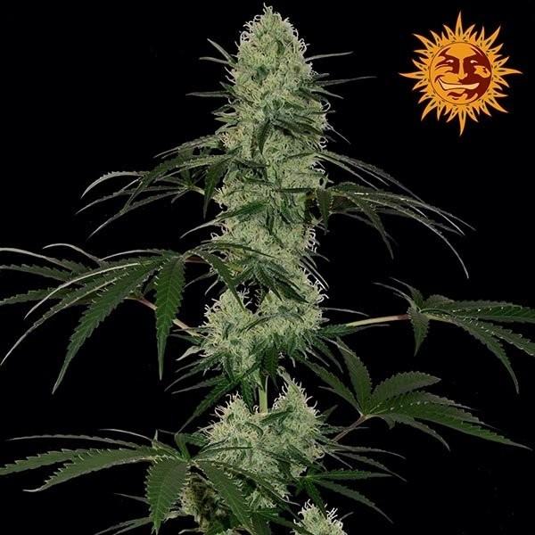 Семена конопли Auto Tangerine Dream