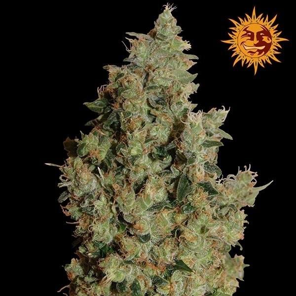 Семена конопли Tangerine Dream