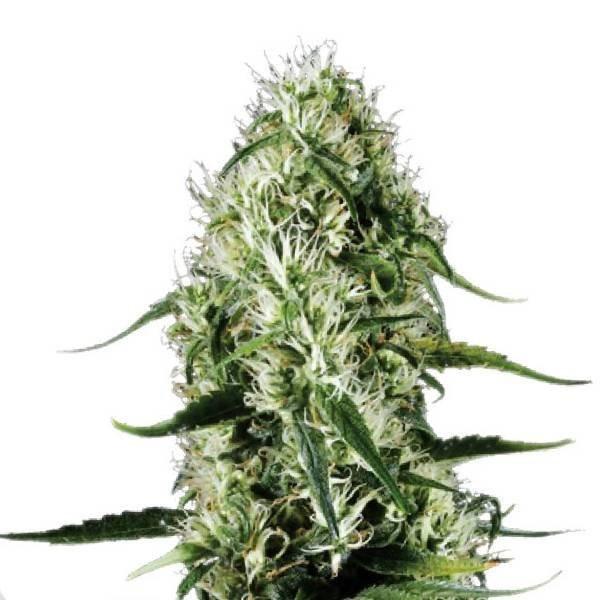 Сорт семян конопли Super Silver Haze