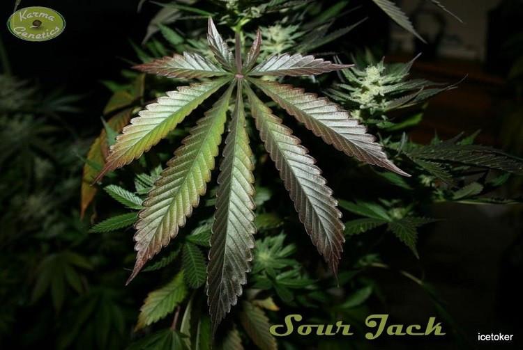 Сорт семян конопли Sour Jack