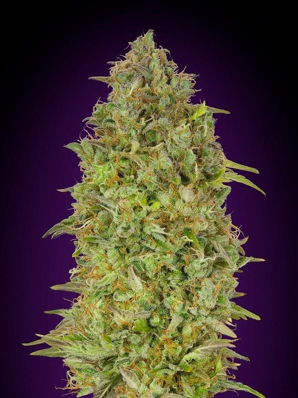 Сорт семян конопли Skunk 47