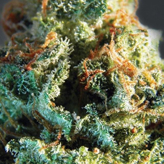 Сорт семян конопли Silver Haze