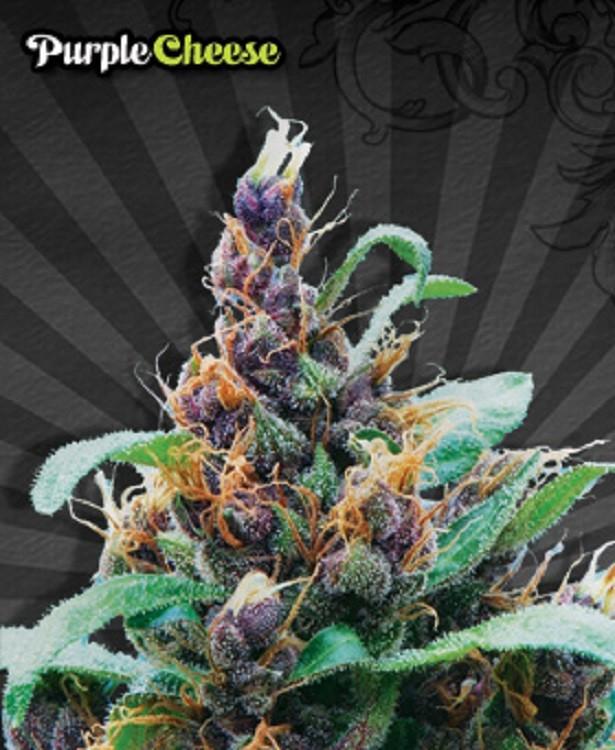 Семена конопли Auto Purple Stilton