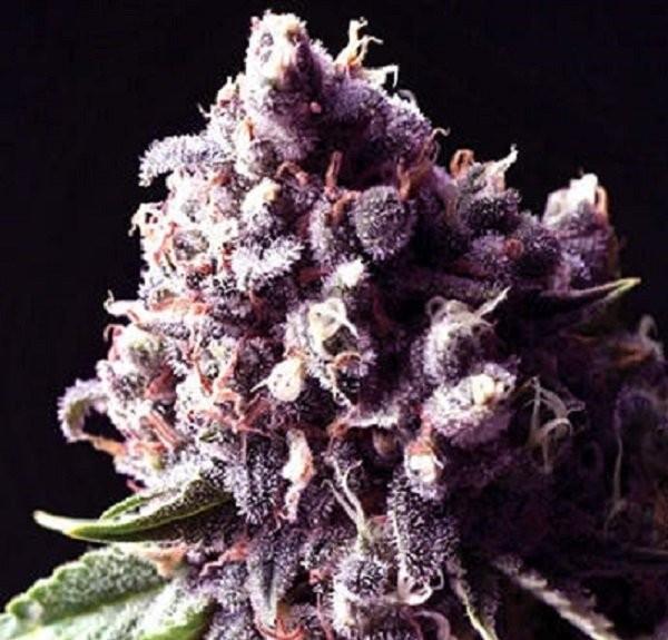 Семена конопли Purple Pinecone