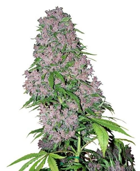 Семена конопли Purple Bud