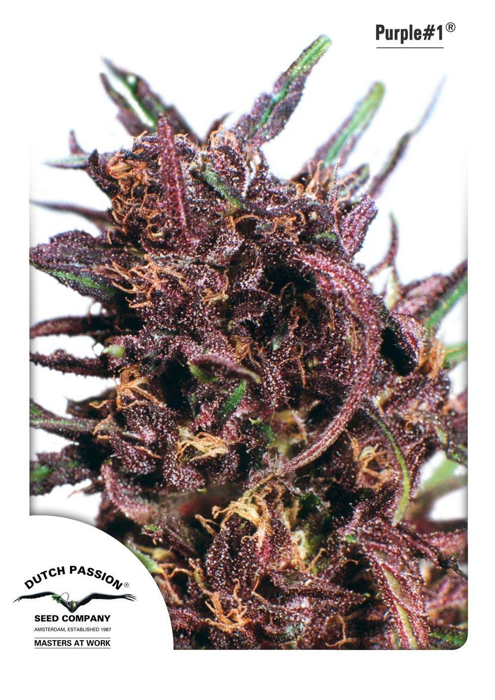 Семена конопли Purple 1