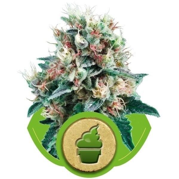 Семена конопли Auto Royal Creamatic
