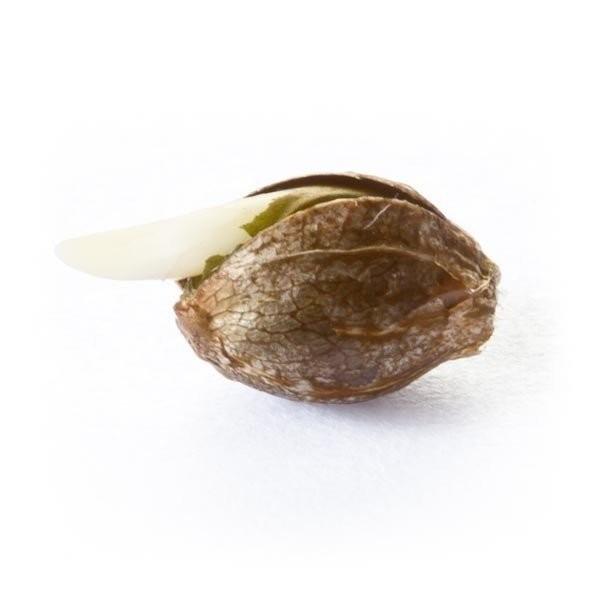 Сорт семян конопли Auto Royal Dwarf