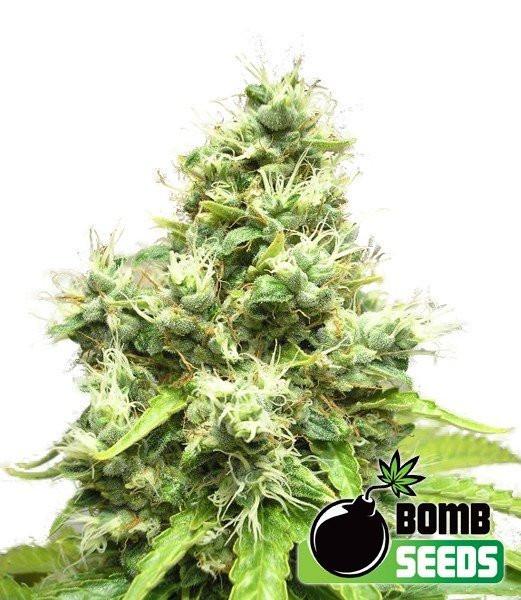 Семена конопли Medi Bomb 1