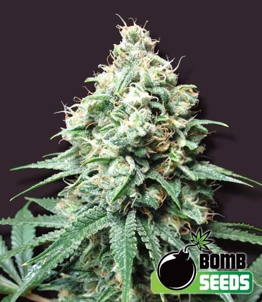 Семена конопли Kush Bomb