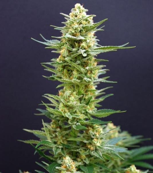 Сорт семян конопли Kritikal-K