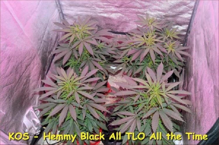 Сорт семян конопли Hemmy Black