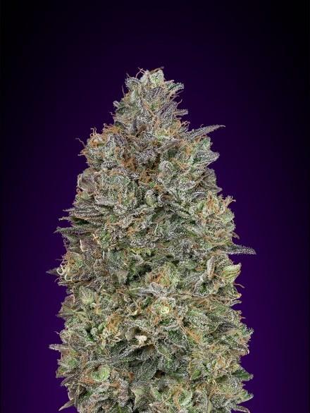 Семена конопли Critical Purple Kush