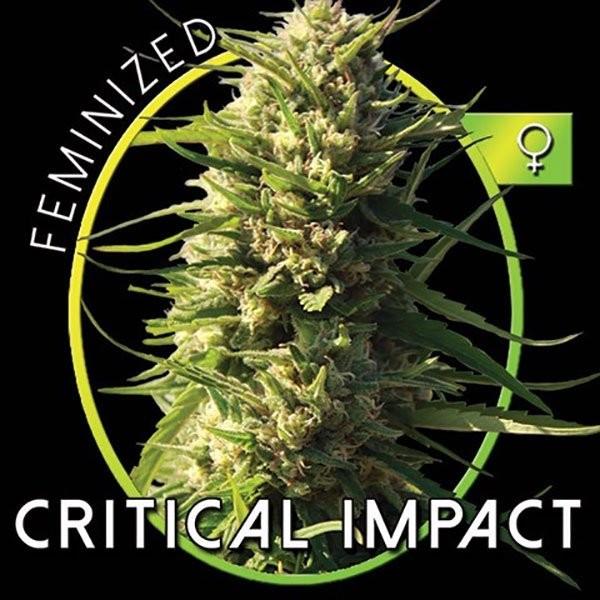 Сорт семян конопли Critical Impact