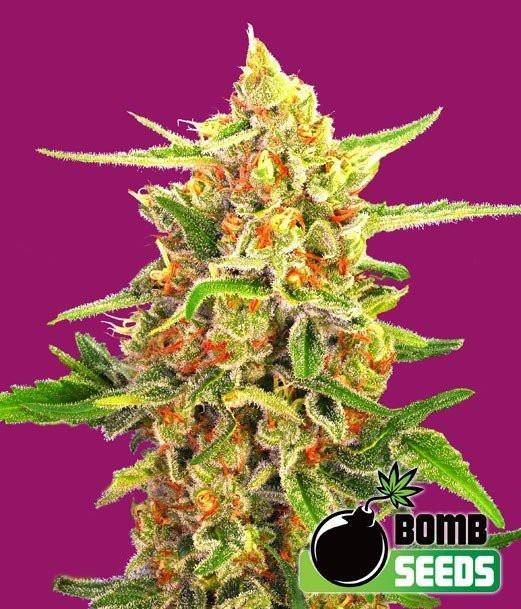 Семена конопли Cherry Bomb