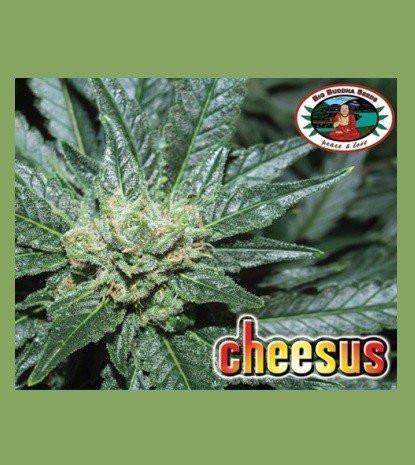 Сорт семян конопли Cheesus