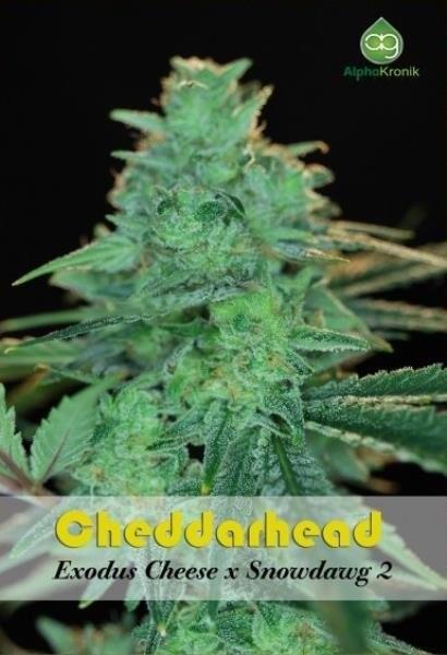 Семена конопли Cheddarhead