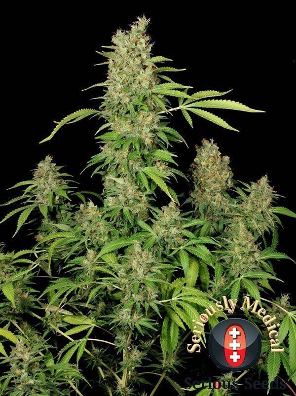 Семена конопли CBD-Chronic