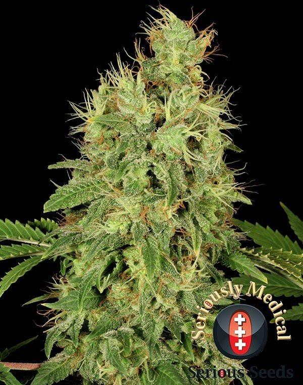 Сорт семян конопли CBD-Chronic