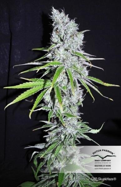 Сорт семян конопли CBD Skunk Haze