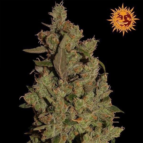 Семена конопли CBD Critical Cure