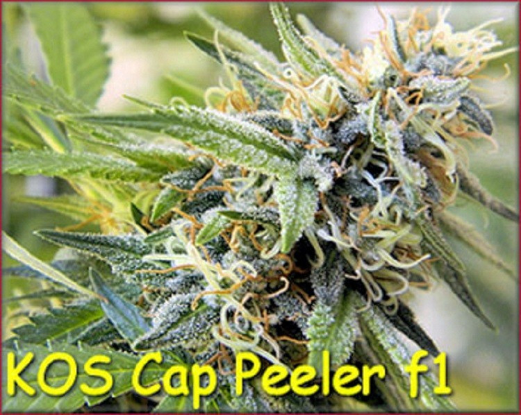 Сорт семян конопли Cap Peeler