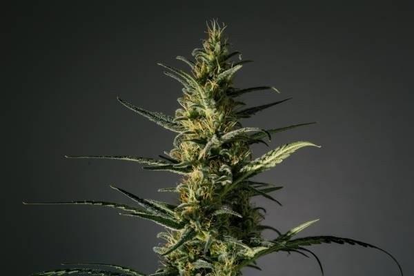 Семена конопли Candida (CD-1)