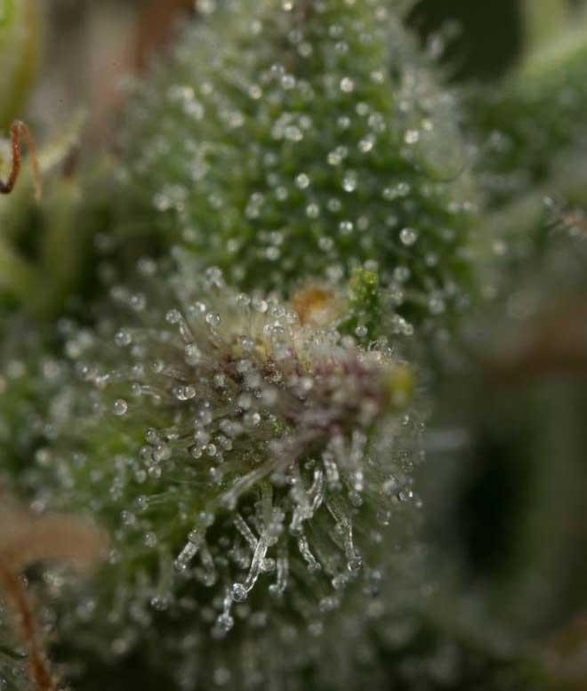Сорт семян конопли Dinamed CBD Plus