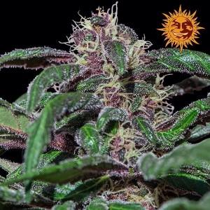 Семена конопли Ayahuasca Purple