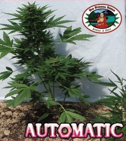 Сорт семян конопли Automatic