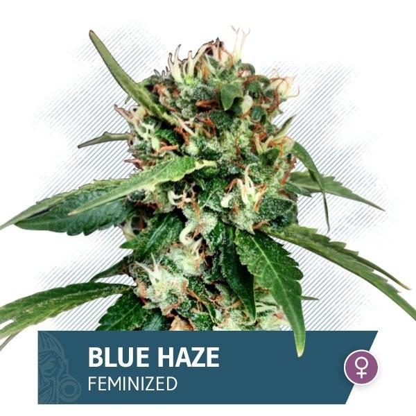 Сорт семян конопли Blue Haze