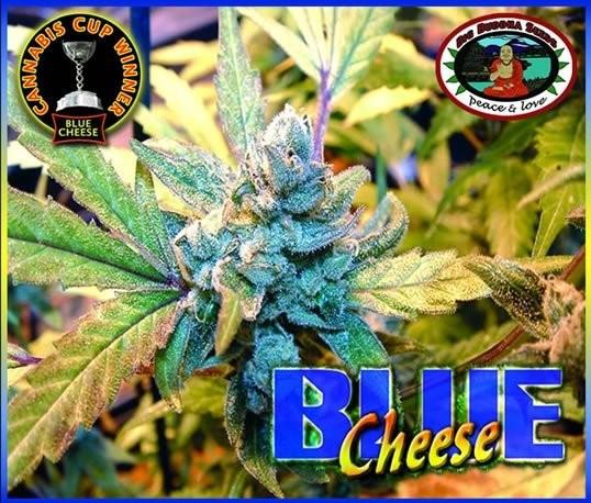 Сорт семян конопли Blue Cheese