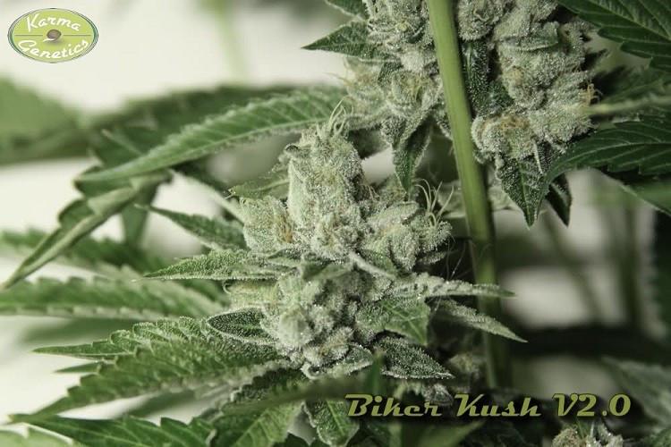 Сорт семян конопли Biker Kush