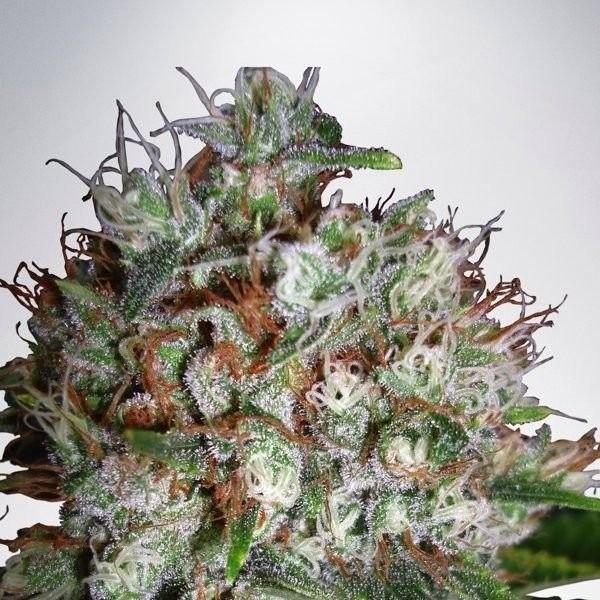 Семена конопли Big Bud XXL