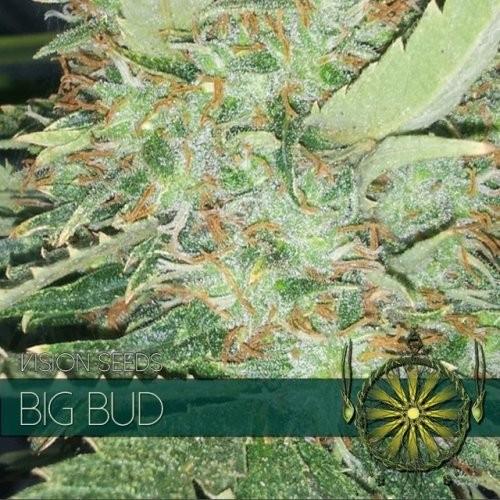 Сорт семян конопли Big Bud