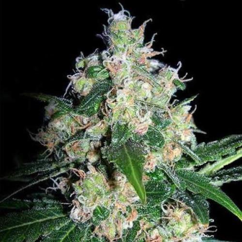 Сорт семян конопли Velvet Bud