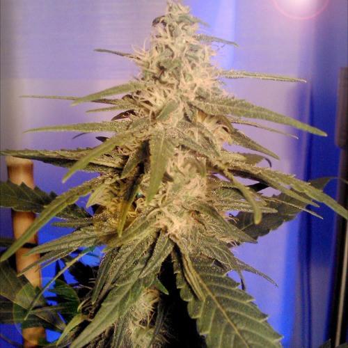 Сорт семян конопли KC36