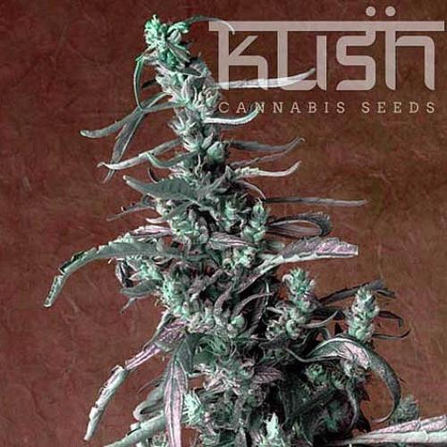 Семена конопли Haze Kush